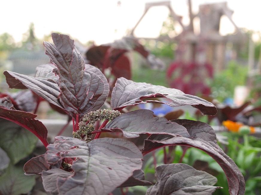 Gemüseamarant Roter Meier