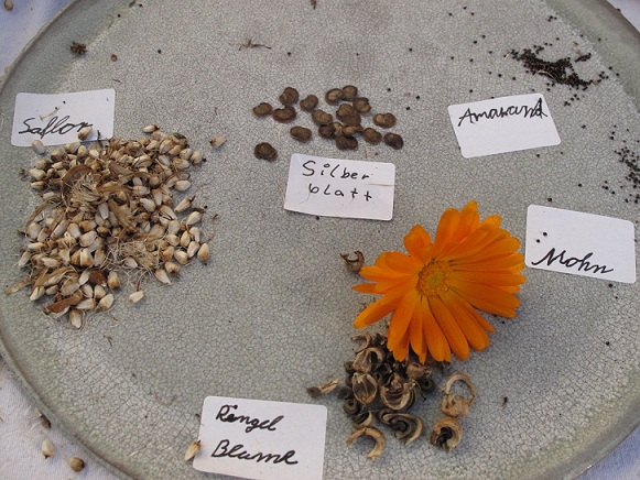 Teller mit verschiedenen Samen, Ringelblume, Saflor, Amarant beschriftet von den Kindern