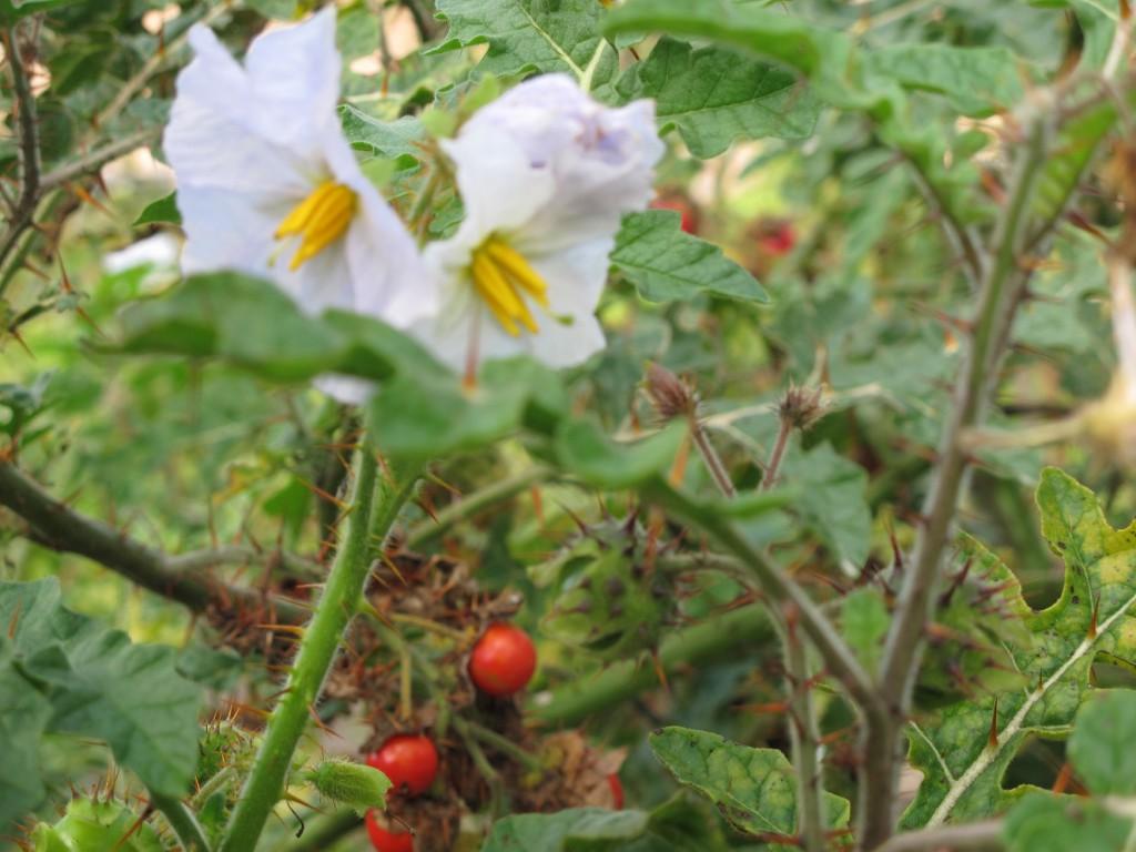 Vorsicht Stacheln! Die Litschitomate mit Blüten wie die Kartoffel und Früchten wie Tomate - echte Verwandte eben!