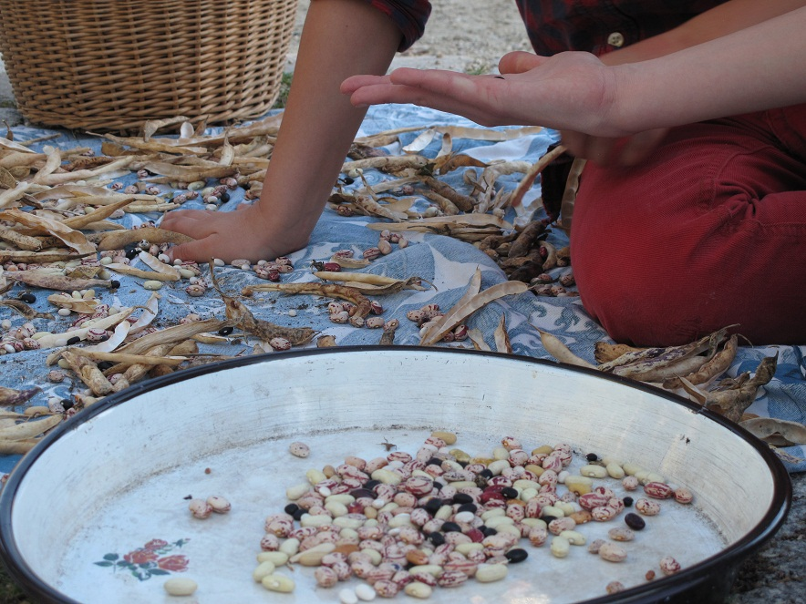 bunte Bohnenvielfalt zum Ausdreschen